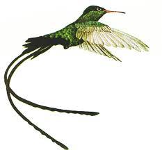 jamaican doctor bird