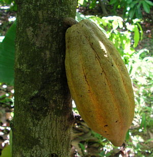 Jamaica Cocoa Pod For Making Chocolate Balls