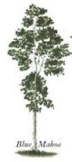 Jamaica national tree Blue Mahoe